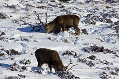 Digging for Food (steve_whitmarsh) Tags: aberdeenshire scotland scottishhighlands highlands mountain winter snow animal nature wildlife reddeer stag glen cairngorms topic