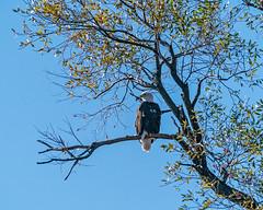 Back lighted Eagle (lennycarl08) Tags: raptor birdofprey baldeagle eagle