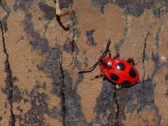 False Ladybird (Endomychus coccineus) (Julian Hodgson) Tags: falseladybird endomychuscoccineus coleoptera endomychidae handsomefungusbeetle insect beetle birch betula holmefen nationalnaturereserve holme cambridgeshire unitedkingdom sonydschx400v raynoxdcr150