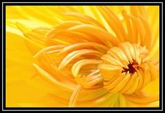 """Mellowing Bright..."" (NikonShutterBug1) Tags: nikond7100 nature spe smartphotoeditor closeup macro flower flora bokeh tamron60mmmacro yellow"