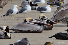Brown Pelicans, resting, Malibu Lagoon, CA CQ4A4076 (Hart Walter) Tags: malibulagoon legacypark royaltern brownpelican grayplover marbledgodwin