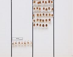 coleoptera-coccinellidae-propylea-mycia-div-R2-5673 (nmbeinvertebrata) Tags: ccbync nmbe5673 64125 coleoptera coccinellidae propylea mycia r2