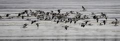 American Avocets (C7D1350) (matxutca (cindy)) Tags: farmingtonbaybirdrefuge utah outdoors nature baldeagle eagles americanavocet inflight flock farmingtonbaywaterfowlmanagementarea