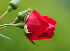 Róża Rose Rosas Roses róże rosu (arjuna_zbycho) Tags: róża rose rosas roses róże rosu rosae flower kwiat blume makrofoto macrophoto rosarium rosengarten الورد austria badenbeiwien doblhoffpark biosphaerenparkwienerwald lovers gülsevenler gül trandafir trandafiri زهرة