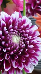 (Vallø) Tags: closeup cameraphone vallø danmark denmark blomst flower indoor inside color colour farve 2014 catchycolors