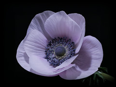 Made for Dreaming ... (h.pregel) Tags: anemone white flower blossom night darkness blooming dreaming petals spring