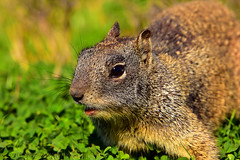 GroundSquirrel_02 (DonBantumPhotography.com) Tags: wildlife nature animals birds donbantumcom donbantumphotographycom squirrel groundsquirrel