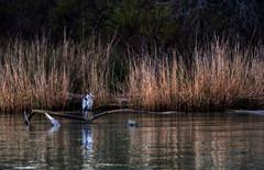 Heron on the banks of the Petit Rhône (JLM62380) Tags: pêche fishing camargue héron heron oiseau eau water wood herb branche herbes animal bois