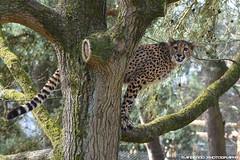 Cheetah - Safaripark Beekse Bergen (Mandenno photography) Tags: animal animals dierenpark dierentuin dieren bigcat big cat cheetah safari safaripark park beekse beeksebergen ngc nature nederland netherlands natgeo natgeographic cats