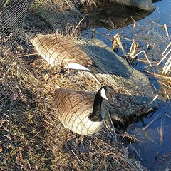 Pair of Geese (edenpictures) Tags: newyorkcity manhattan nyc centralpark goose canadagoose bird harlemmeer