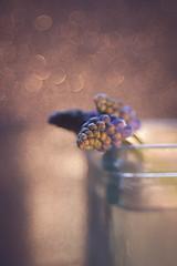 Muscari (ursulamller900) Tags: thefirstletterofmysurname muscari traubenhyazinthe glass glas macromondays trioplan2950 extensiontube 12mm makroring bokeh
