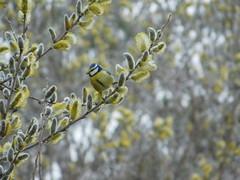 Ich werde beobachtet! (elisabeth.mcghee) Tags: cyanistes caeruleus blaumeise blue tit weide salix willow weidenkätzchen vogel bird oberpfalz unterbibrach upper palatinate catkin