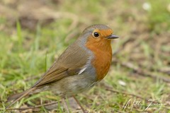 European Robin (Erithacus rubecula melophilus) (PhasmatosOculus) Tags: march 2019 march2019 bird birds rivernene barnwellcountrypark barnwellpark barnwell country park northamptonshire wildlifeanimal wildlife animal animals wildlifeanimals matthewfarrugia matthew farrugia centricmalteser canon7dmkii canon 7d mkii eos7dmkii canoneos7dmkii eos canoneos eastanglia 7dmkii phasmatosoculus