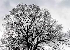 Même un jour de pluie... (even on a rainy day...) (Larch) Tags: arbre tree mars march silhouette harmonieux pluie jourdepluie rain rainyday parc park bruxelles brussels belgique belgium harmonious shape