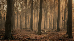 Speulderbos - another foggy morning (Toon E) Tags: 2019 holland netherlands nederland speulderbos veluwe garderen drie forest woods trees fog mist morning sunrise outdoor sony a7rii sonyfe2470mmf4