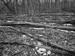 Fallen Trees (mswan777) Tags: twig sticks landscape ansel white black monochrome mobile iphone iphoneography apple hike quiet nature outdoor stevensville michigan fallen wood forest tree