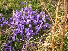 Veilchen-Nest (Jörg Paul Kaspari) Tags: daun eifel vulkaneifel totenmaar frühling spring violariviniana viola hainveilchen violett