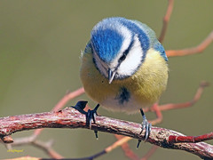 Herrerillo común  (Cyanistes caeruleus) (8) (eb3alfmiguel) Tags: aves pájaros insectívoros passeriformes paridae herrerillo común cyanistes caeruleus