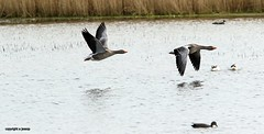 J78A0267 (M0JRA) Tags: swans robins birds humber ponds lakes people trees fields walks farms traylers ducks