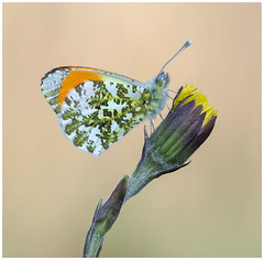 Orange Tip (nigel kiteley2011) Tags: orangetip butterfly insect macro canon 5dmk3 canoneos5dmk3 butterfrlies anthochariscardamines nature