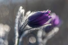 Anémone (heijoelle) Tags: printemps fleur macro nature france matinée moselle delme anémonepulsatille lorraine macrophotographie