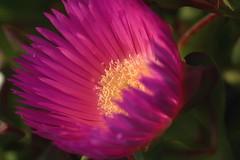 IMG_1130 Macro (Fernando Sa Rapita) Tags: mallorca sarapita canon canoneos eos1300d sigma sigma105mm sigmalens macro nature naturaleza flower flor