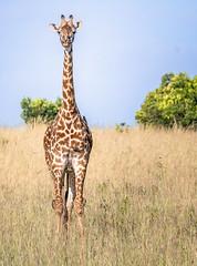 Giraffe and Friends (helenehoffman) Tags: africa maasaigiraffe kenya conservationstatusvulnerable buphagusafricanus mammal yellowbilledoxpecker masaigiraffe kilimanjarogiraffe masaimaranationalreserve giraffacamelopardalistippelskirchii animal
